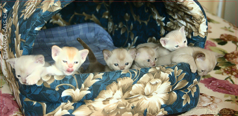http://tanaka-cats.ru/kittens/litter-k/23-02-13-001-1.jpg