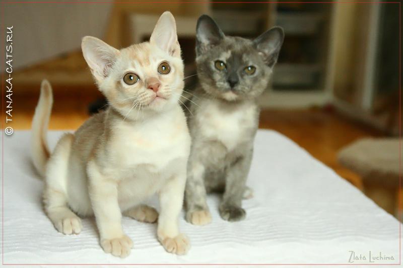 http://tanaka-cats.ru/kittens/litter-t/13-11-13-145-1.jpg